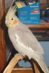 Female Cinnamon Cockatiel
