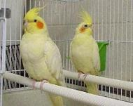 Male and Female Lutino Cockatiel